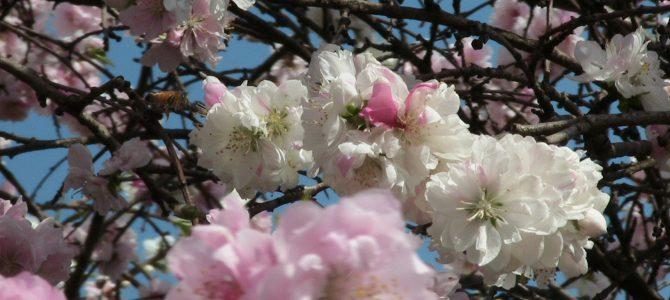 花桃(源平咲き)
