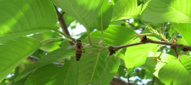 桜(蜜腺)