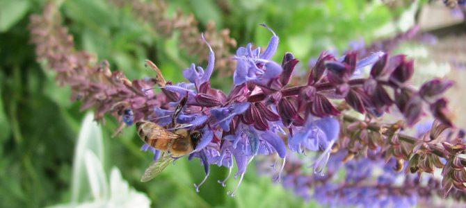 サルビア 青花