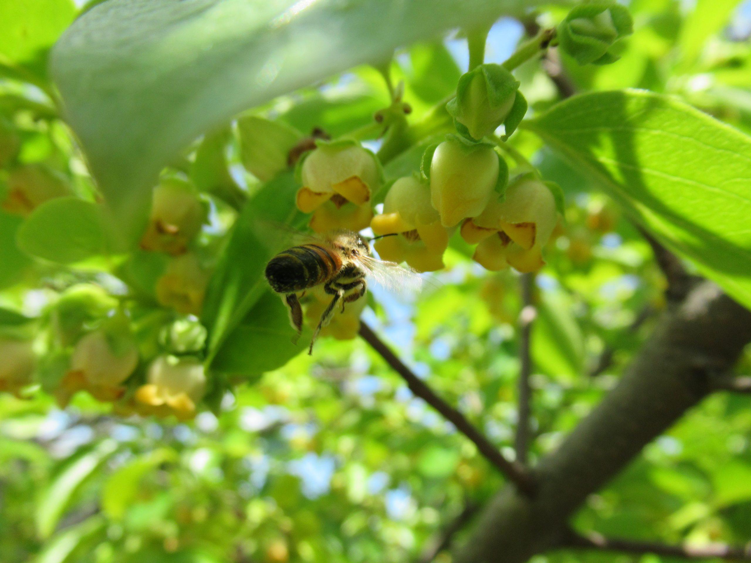 かき(柿)
